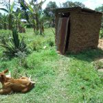 The Water Project: Muyundi Community A -  Cow Sits Outside Of Latrine