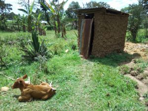 The Water Project:  Cow Sits Outside Of Latrine