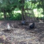 The Water Project: Ewamakhumbi Community, Yanga Spring -  Chickens
