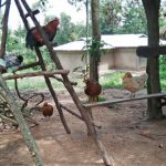 The Water Project: Emachembe Community, Hosea Spring -  Chickens