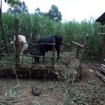 The Water Project: Chegulo Community, Werabunuka Spring -  Animals Grazing At A Set Aside Place