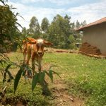 The Water Project: Emaka Community, Ateka Spring -  A Cow Grazes At An Open Field