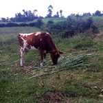 The Water Project: Lunyi Community, Fedha Mukhwana Spring -  A Cow Grazing In An Open Field