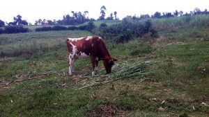 The Water Project:  A Cow Grazing In An Open Field