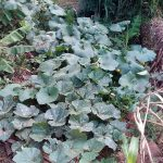 The Water Project: Lunyi Community, Fedha Mukhwana Spring -  Vegetable Growing At A Compost Pit