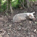The Water Project: Ematetie Community, Weku Spring -  A Pig Resting On A Pile Of Dirt