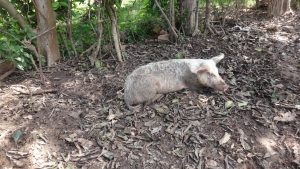 The Water Project:  A Pig Resting On A Pile Of Dirt