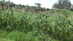 The Water Project:  Maize Plantation