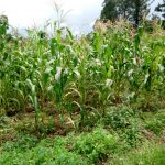 The Water Project: Ematetie Community, Chibusia Spring -  Maize Plantation