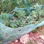 The Water Project: Asimuli Community, John Omusembi Spring -  A Kitchen Garden In One Of The Compounds