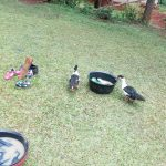 The Water Project: Asimuli Community, John Omusembi Spring -  Ducks In A Compound In The Village