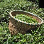 The Water Project: Chepnonochi Community -  Tea Leaves Fresh From Being Harvested