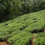 The Water Project: Chepnonochi Community -  Tea Plantation