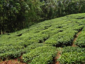 The Water Project:  Tea Plantation
