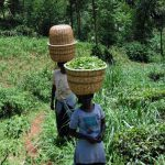 The Water Project: Chepnonochi Community, Chepnonochi Spring -  Women Carry Harvested Tea Leaves