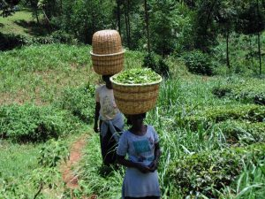 The Water Project:  Women Carry Harvested Tea Leaves