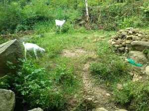 The Water Project:  Goats Grazing