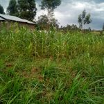 The Water Project: Elutali Community -  A Maize Farm