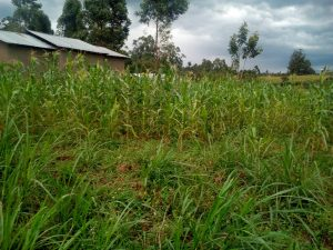 The Water Project:  A Maize Farm