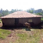 The Water Project: Irumbi Community A -  Cow In Front Of Home