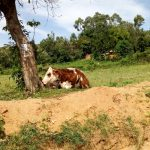 The Water Project: Shirakala Community -  Kenya A Cow Rests Under A Shade After Grazing In The Fields