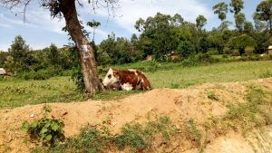 The Water Project:  Kenya A Cow Rests Under A Shade After Grazing In The Fields
