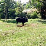 The Water Project: Irumbi Community, Okang'a Spring -  A Cow Grazing In The Community