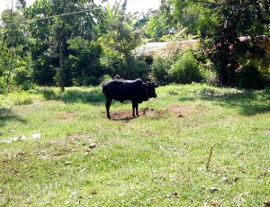 The Water Project:  A Cow Grazing In The Community