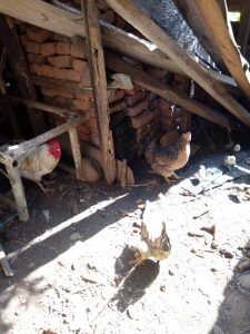 The Water Project:  Chicken At A Community Members Backyard