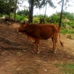 The Water Project: Burachu B Community A -  A Cow Grazes At An Open Field