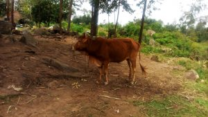 The Water Project:  A Cow Grazes At An Open Field