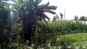 The Water Project:  Banana Trees And Farm
