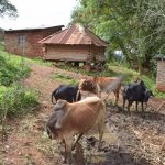 The Water Project: Kala Community -  Grazing Cattle