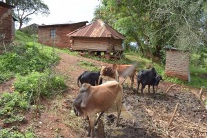 The Water Project:  Grazing Cattle