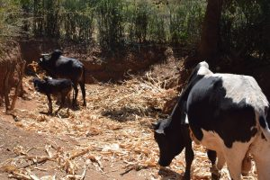 The Water Project:  Cattle