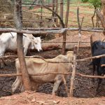 The Water Project: Kaliani Community A -  Cattle Pen