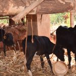 The Water Project: Utini Community A -  Cattle