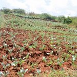 The Water Project: Mbindi Community B -  Crops And Terracing A Year Later