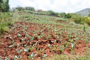 The Water Project:  Crops And Terracing A Year Later