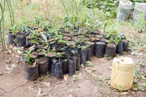 The Water Project:  Tree Saplings