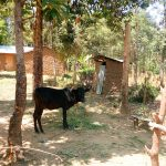 The Water Project: Ivinzo Commuity, Mushianda Spring -  A Household Cow