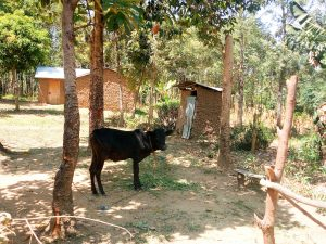 The Water Project:  A Household Cow