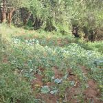 The Water Project: Maluvyu Community A -  Crops Growing