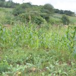 The Water Project: Ngaa Community -  Maize Growing
