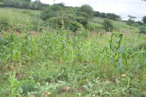 The Water Project:  Maize Growing