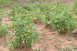 The Water Project:  Crops Growing