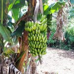 The Water Project: Luyeshe Community, Matolo Spring -  Bananas