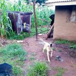 The Water Project: Bukhakunga Community, Khayati Spring -  Dog Running To Greet Us_