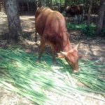 The Water Project: Mwichina Community, Matanyi Spring -  Cow