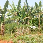 The Water Project: Sichinji Community, Makhatse Spring -  Banana Farming